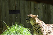 Bigcat Prints - National Zoo - Leopard - 011320 Print by DC Photographer