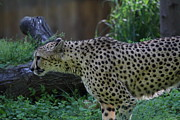 Bigcat Photos - National Zoo - Leopard - 011323 by DC Photographer