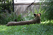 Cat Photos - National Zoo - Leopard - 01135 by DC Photographer