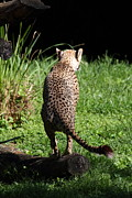 Cat Photos - National Zoo - Leopard - 01139 by DC Photographer