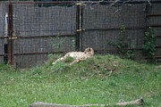 Bigcat Photos - National Zoo - Leopard - 12123 by DC Photographer