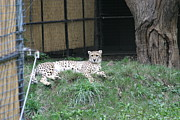 Bigcat Photos - National Zoo - Leopard - 12125 by DC Photographer