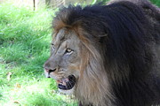 National Zoo - Lion - 011312 Print by DC Photographer