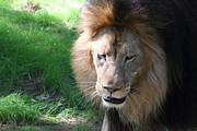 National Zoo - Lion - 011313 Print by DC Photographer