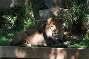 Zoo Framed Prints - National Zoo - Lion - 011315 Framed Print by DC Photographer