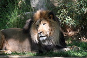 King Framed Prints - National Zoo - Lion - 011316 Framed Print by DC Photographer