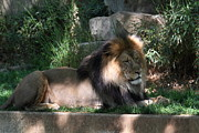 Lion Framed Prints - National Zoo - Lion - 011317 Framed Print by DC Photographer