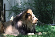 King Photos - National Zoo - Lion - 011318 by DC Photographer
