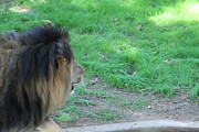 Lions Photo Prints - National Zoo - Lion - 01134 Print by DC Photographer