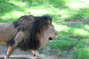 National Zoo - Lion - 01135 Print by DC Photographer