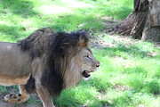 Lions Metal Prints - National Zoo - Lion - 01136 Metal Print by DC Photographer