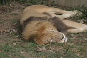 Jungle Photos - National Zoo - Lion - 12121 by DC Photographer