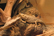 Lizards Framed Prints - National Zoo - Lizard - 12124 Framed Print by DC Photographer