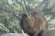 Mammal Photo Prints - National Zoo - Mammal - 121220 Print by DC Photographer