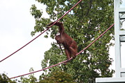 Smithsonian Photos - National Zoo - Orangutan - 01134 by DC Photographer