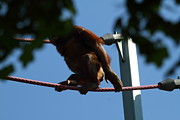 Park Photos - National Zoo - Orangutan - 01139 by DC Photographer