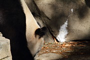 Zoo Photos - National Zoo - Panda - 011315 by DC Photographer