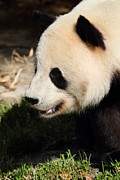 Zoo Photos - National Zoo - Panda - 011324 by DC Photographer