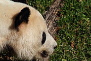 Smithsonian Prints - National Zoo - Panda - 011327 Print by DC Photographer