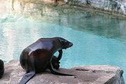 Sealion Posters - National Zoo - Sea Lion - 12127 Poster by DC Photographer
