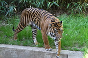 Tiger Framed Prints - National Zoo - Tiger - 011316 Framed Print by DC Photographer