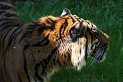 Bigcat Framed Prints - National Zoo - Tiger - 011317 Framed Print by DC Photographer