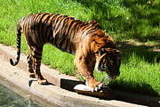 Bigcat Photos - National Zoo - Tiger - 011319 by DC Photographer