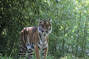Tiger Metal Prints - National Zoo - Tiger - 01132 Metal Print by DC Photographer