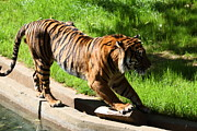 Bigcat Prints - National Zoo - Tiger - 011320 Print by DC Photographer