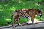Cat Framed Prints - National Zoo - Tiger - 011322 Framed Print by DC Photographer