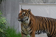 Cat Posters - National Zoo - Tiger - 011326 Poster by DC Photographer