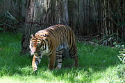 Cat Photo Framed Prints - National Zoo - Tiger - 011327 Framed Print by DC Photographer