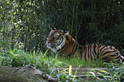Big Photos - National Zoo - Tiger - 01135 by DC Photographer