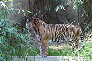 Tiger Metal Prints - National Zoo - Tiger - 01137 Metal Print by DC Photographer