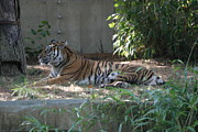 Bigcat Photos - National Zoo - Tiger - 12121 by DC Photographer