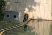 Bigcat Photos - National Zoo - Tiger - 121211 by DC Photographer
