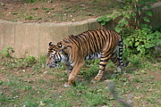 Bigcat Framed Prints - National Zoo - Tiger - 121212 Framed Print by DC Photographer