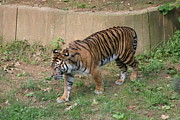 Bigcat Photos - National Zoo - Tiger - 121213 by DC Photographer