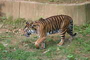 Bigcat Photos - National Zoo - Tiger - 121214 by DC Photographer