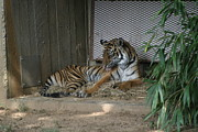 National Zoo - Tiger - 12122 Print by DC Photographer