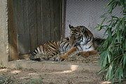 Bigcat Photos - National Zoo - Tiger - 12123 by DC Photographer