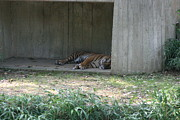 Bigcat Photos - National Zoo - Tiger - 12124 by DC Photographer