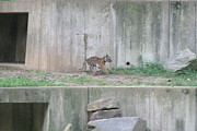 Bigcat Photos - National Zoo - Tiger - 12126 by DC Photographer