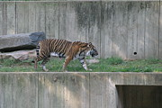 Bigcat Posters - National Zoo - Tiger - 12127 Poster by DC Photographer
