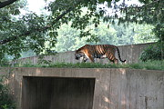 Bigcat Photos - National Zoo - Tiger - 12128 by DC Photographer