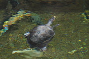 Animals Photo Metal Prints - National Zoo - Turtle - 01131 Metal Print by DC Photographer