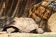 Shell Metal Prints - National Zoo - Turtle - 01133 Metal Print by DC Photographer