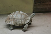 Shell Photo Prints - National Zoo - Turtle - 12128 Print by DC Photographer
