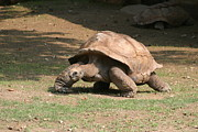 Shell Photo Prints - National Zoo - Turtle - 12129 Print by DC Photographer