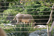Zebra Metal Prints - National Zoo - Zebra - 12121 Metal Print by DC Photographer